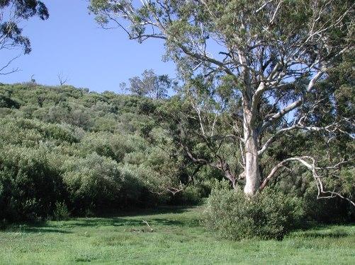 Hillside African olive invasion