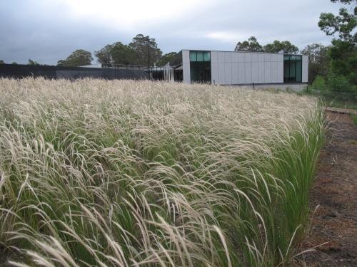 Plumegrass