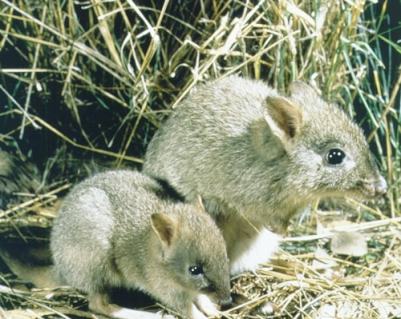 Fig. 3. Woylies were first introduced in 1997 from animals caught in the wild at sites in southwest Western Australia.