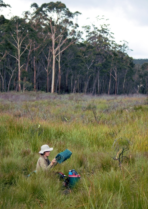 Fig 3. Sarsha Gorissen checks a trap for lizards in a Newnes Plateau swamp (Photo: N. Belmer)