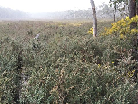 Fig 3. Paddy's Swamp, Newnes Plateau (Anthea Brescianini)