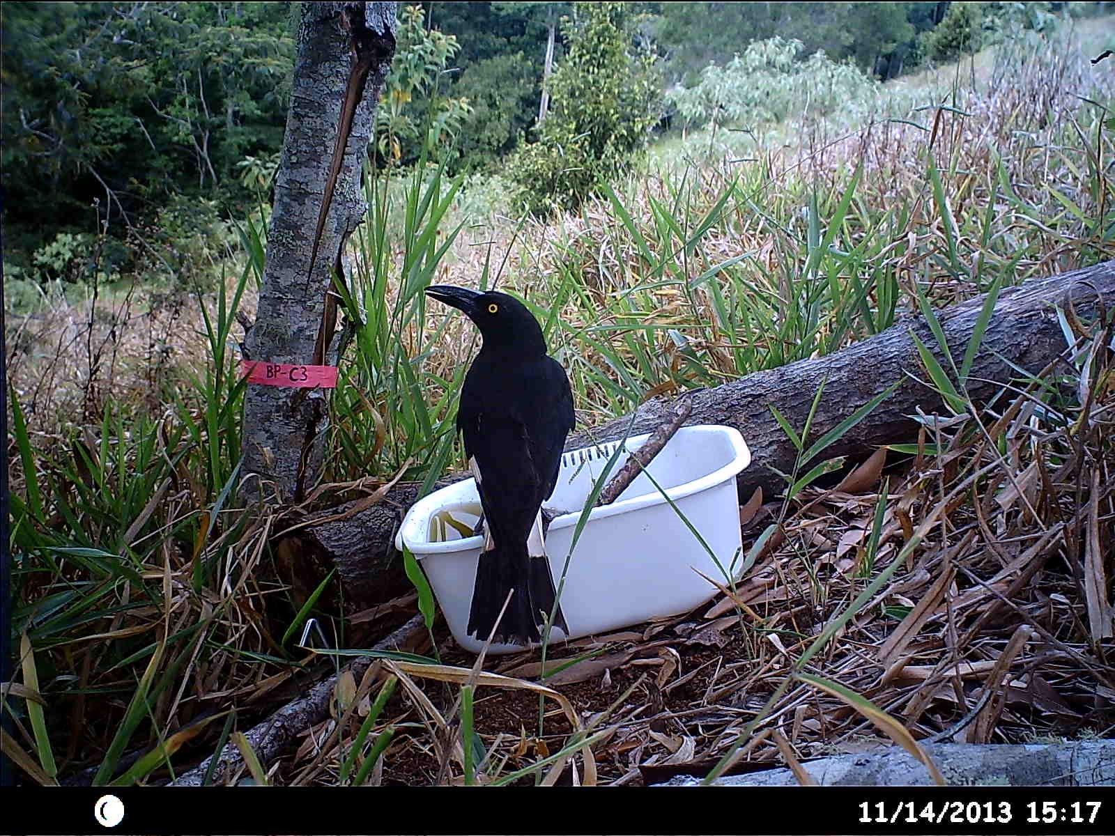 """Figure 1. A Pied Currawong at a water trough in a """"Kickstart"""" pasture conversion plot. [See Elgar, A.T., Freebody, K., Pohlman, C.P., Shoo, L.P. & Catterall, C.P. (2014) Overcoming barriers to seedling regeneration during forest restoration on tropical pasture land and the potential value of woody weeds. Frontiers in Plant Science 5: 200. http://dx.doi.org/10.3389/fpls.2014.00200]"""