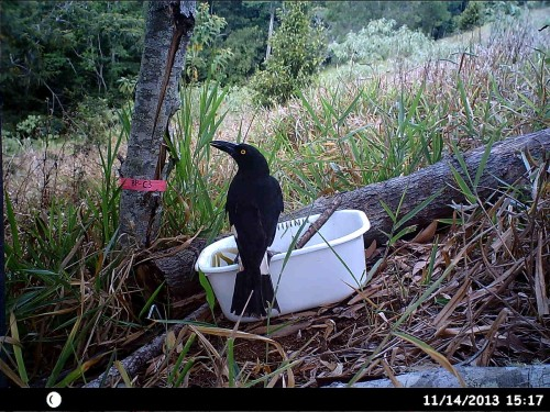 "Figure 1. A Pied Currawong at a water trough in a ""Kickstart"" pasture conversion plot. [See Elgar, A.T., Freebody, K., Pohlman, C.P., Shoo, L.P. & Catterall, C.P. (2014) Overcoming barriers to seedling regeneration during forest restoration on tropical pasture land and the potential value of woody weeds. Frontiers in Plant Science 5: 200. http://dx.doi.org/10.3389/fpls.2014.00200]"