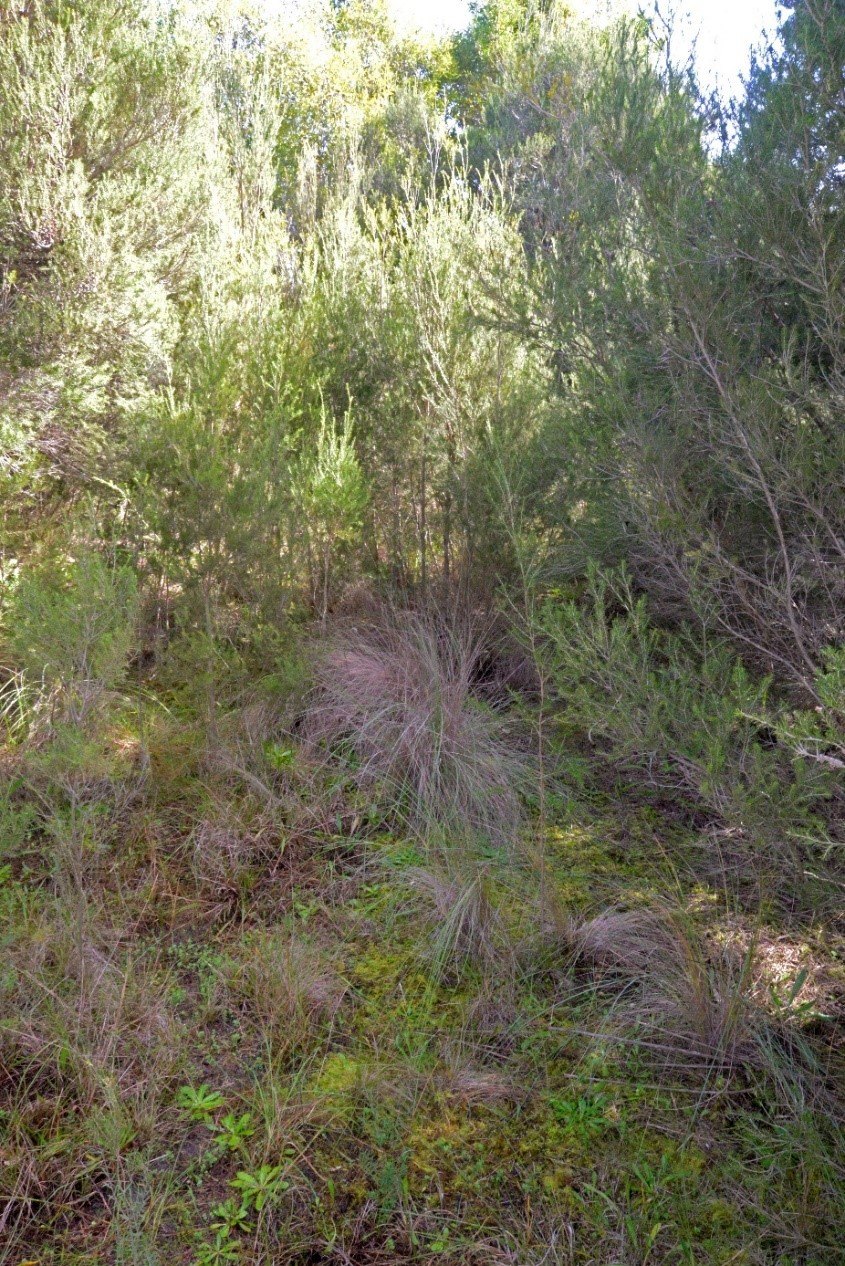 Assisted Regeneration Emr Project Summaries Meat Cut Diagrams Keysborough Egg Farm Photo 2 Swamp Scrub At Waterways Note The Dense Layer Of Mosses In Understory Particularly Thuidiopsis Furfurosa